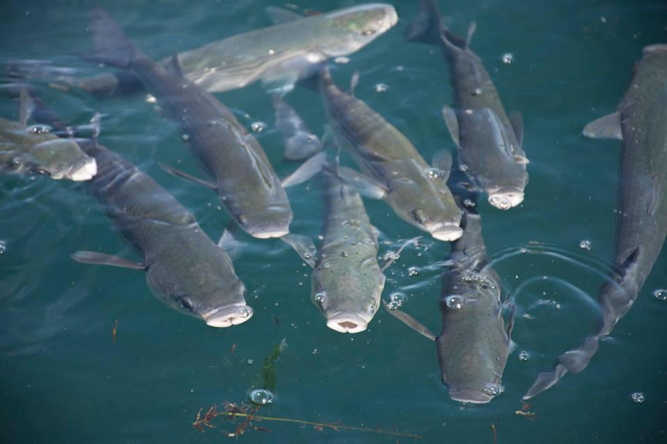 Os muxos son uns peixes moi costeiros