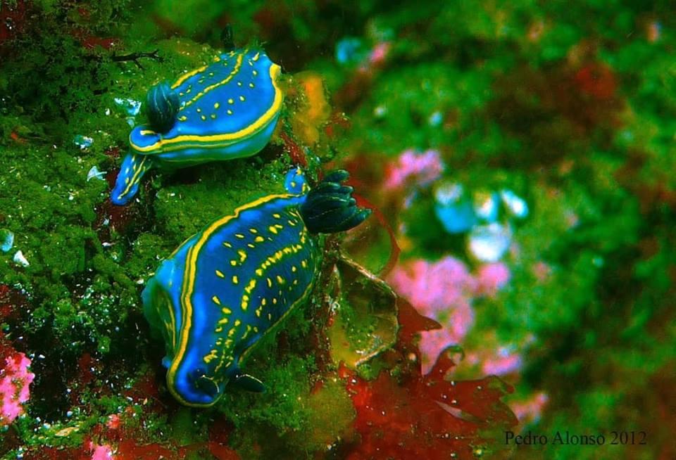 Nudibranquios, babosas de mar nas Rías Baixas de Galicia