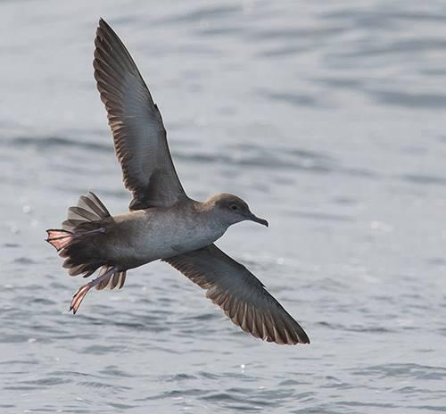 Nova saída para observar aves mariñas e cetáceos no Chasula