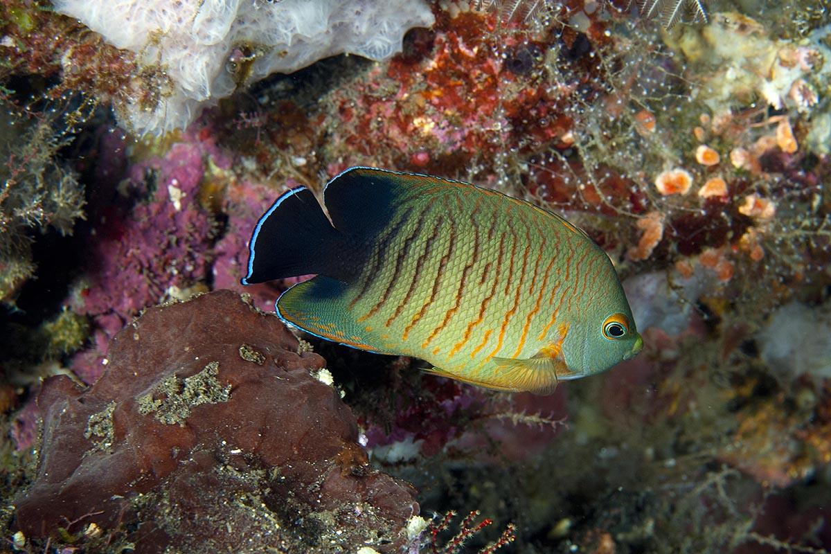 peixe anxo 3