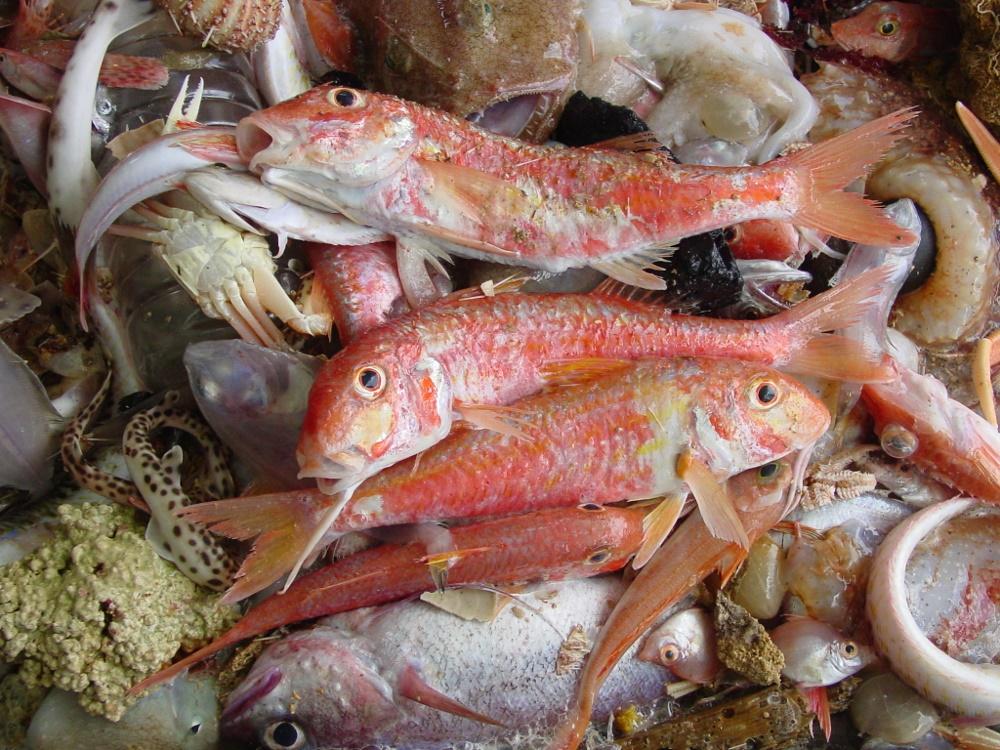 Investigadores do IEO revelan novas evidencias sobre a influencia do medio ambiente e o quecemento global nas poboacións de peixes
