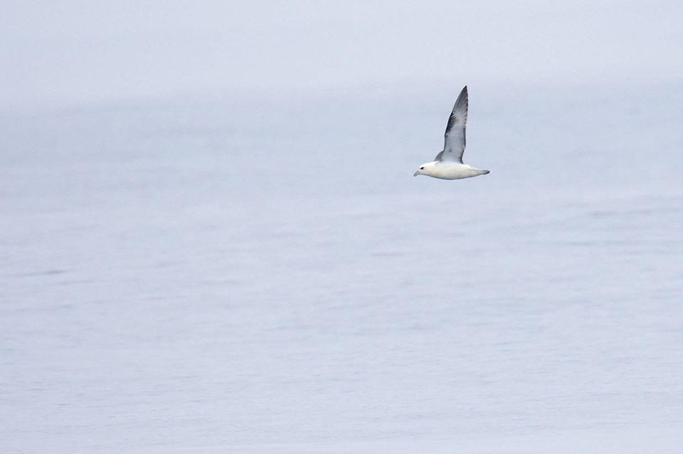 Avistamento de aves peláxicas navegando no Chasula