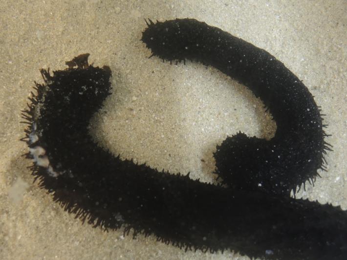 pepino de mar 1