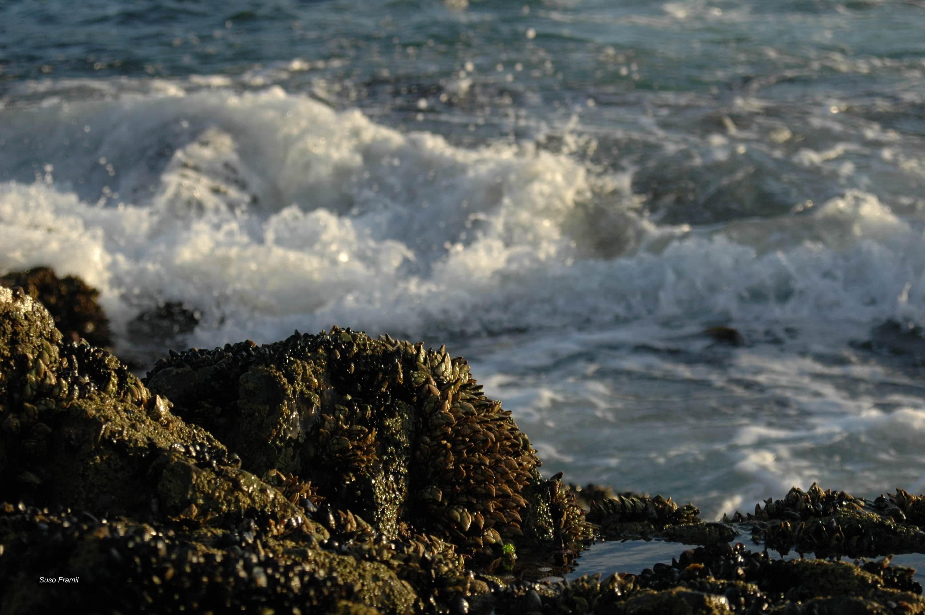 Percebes das Illas Atlánticas de Galicia