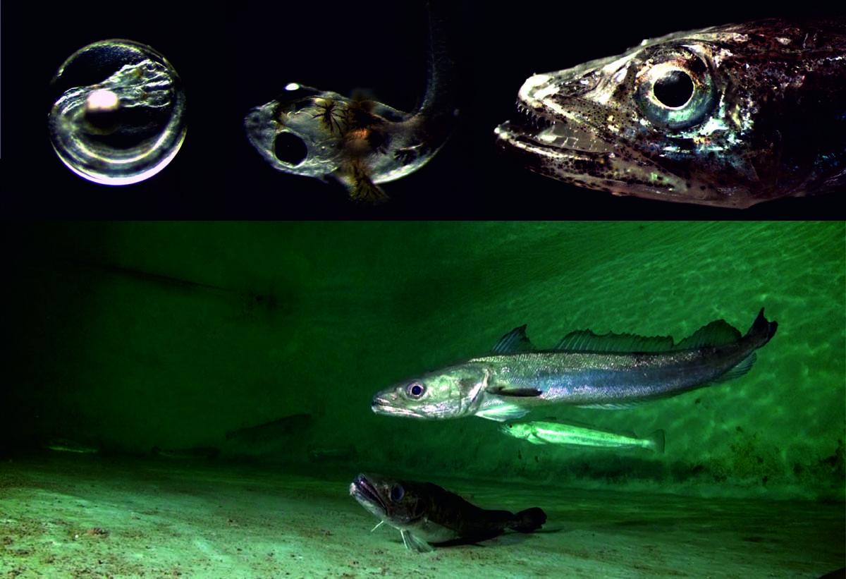 A Ecimat e o IEO desenvolven un sistema de xestión para a alimentación temperá da pescada