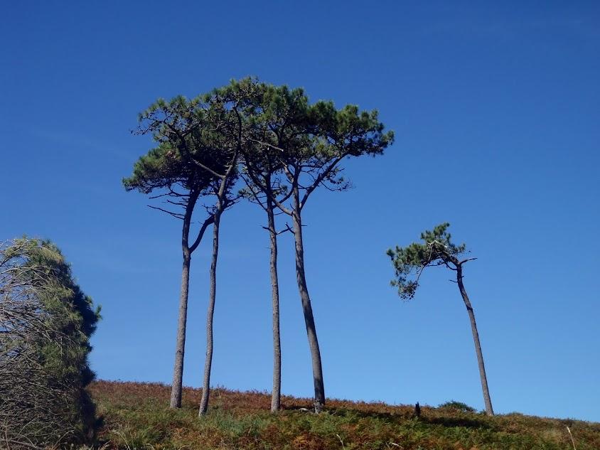 Solitarios pinos de Ons