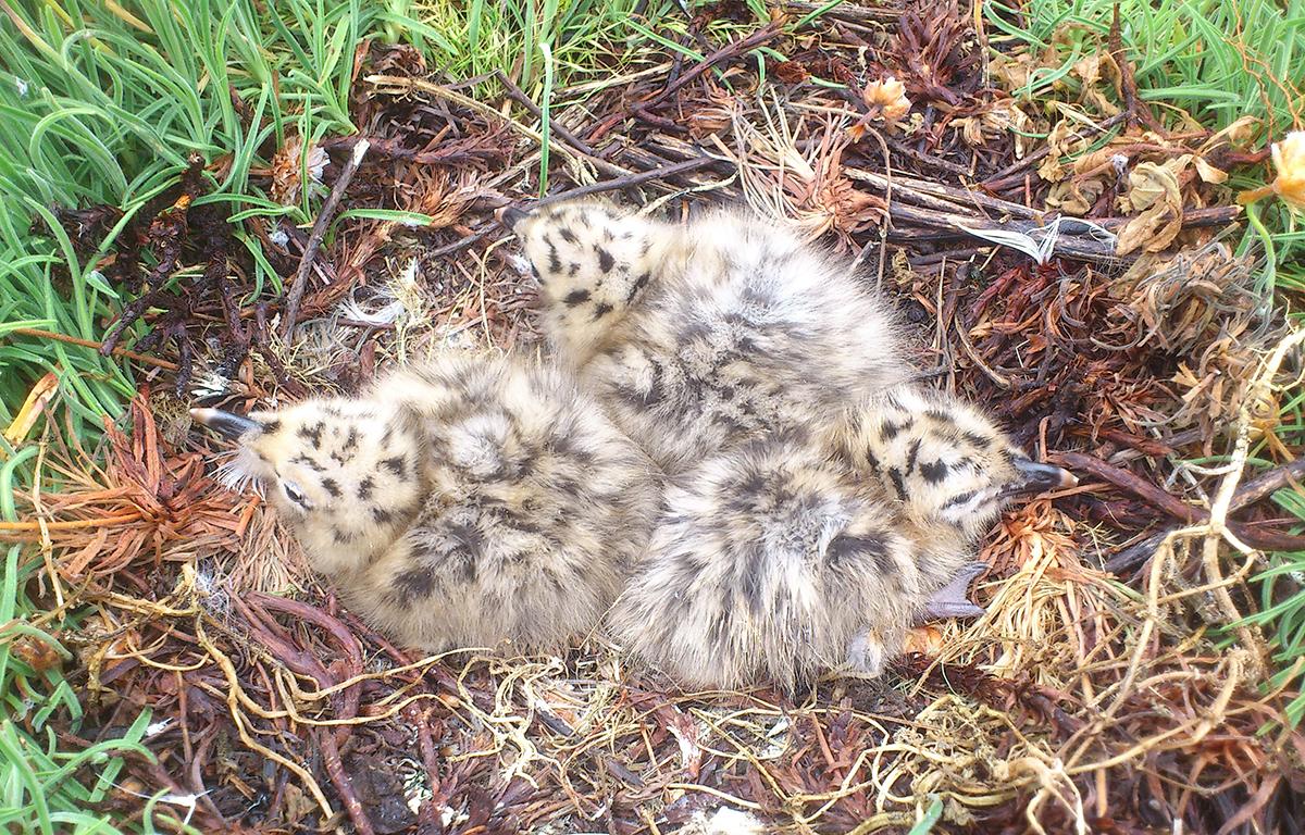 A xerarquía de nacemento, e non os efectos do ovo, determinan o comportamento dos polos de gaivota
