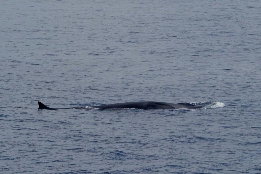 Máis de 1,5 millóns de baleas, golfiños e toniñas habitan o Atlántico europeo