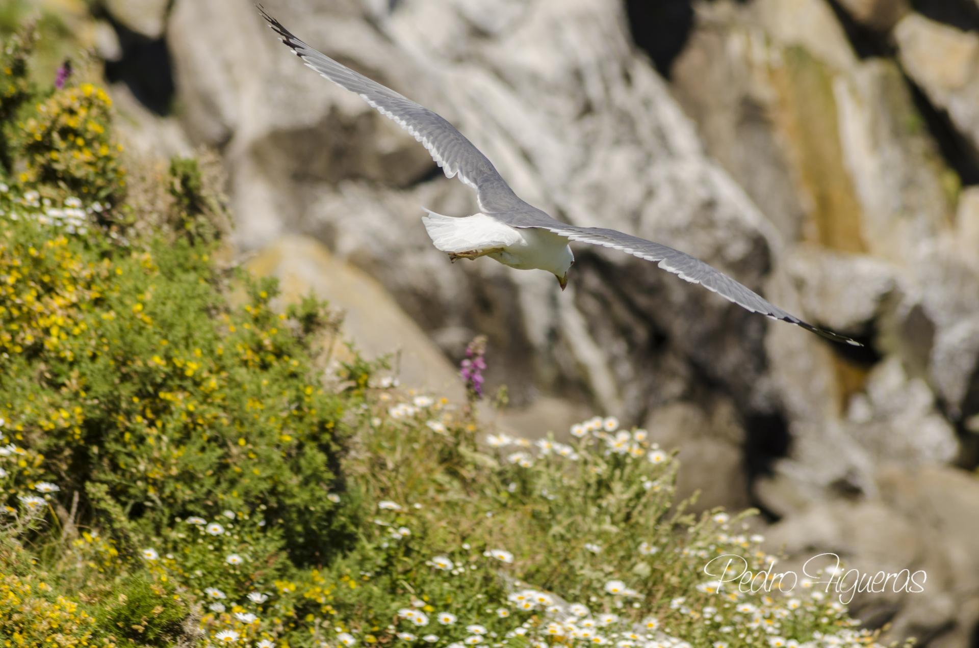 Sobrevoando os inxentes cantís das illas Cíes