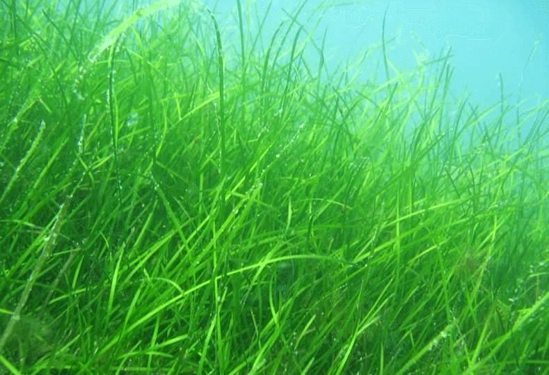 Un estudo analiza como afecta o exceso de nitróxeno procedente da actividade humana ás praderías mariñas galegas